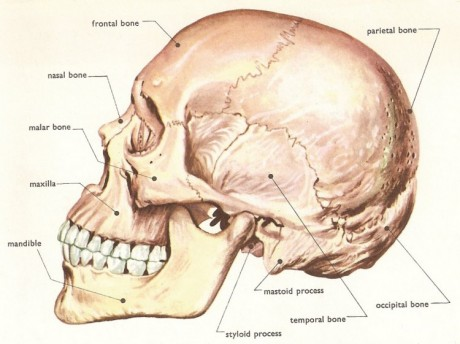 skull side_anatomy